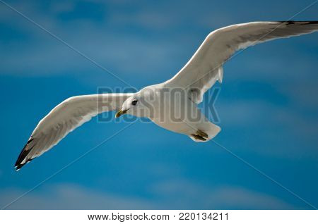 White seagull with black wingtips flying in the sky. Hovering