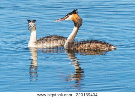A Great Crested Grebe (Podiceps cristatus) with its young at Herdsman Lake in Perth, Western Australia.