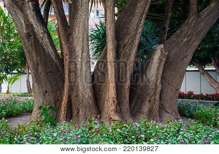 Old tree in a park in Murcia, Spain