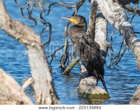 The Great Cormorant (Phalacrocorax carbo) is the largest of the Australian cormorants and is one of the largest in the world.