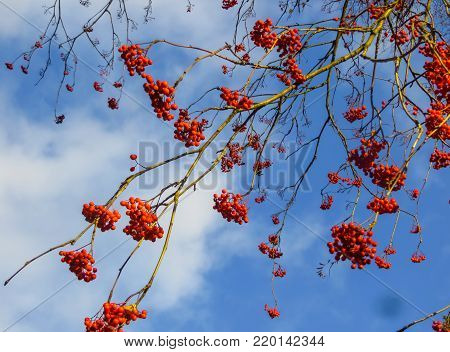 Remains of red berries of mountain ash on branches, against a background of the sky in the late autumn.