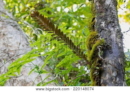 Podochilus, small epiphytic orchids growing on tree trunk in tropical rain forest, moss-like plant at Fraser's Hill, Malaysia, South east Asia