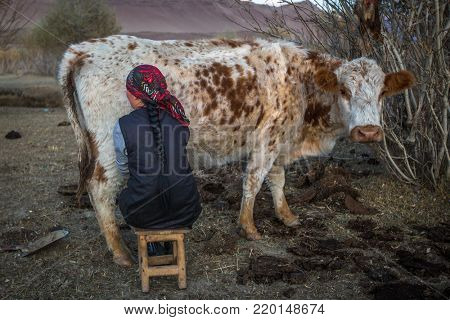 BAYAN-OLGII, MONGOLIA - SEP 27, 2017: Local Kazakh a woman milking a cow outdoor. In Bayan-Olgii Province is populated mainly by Kazakhs (88,7%)