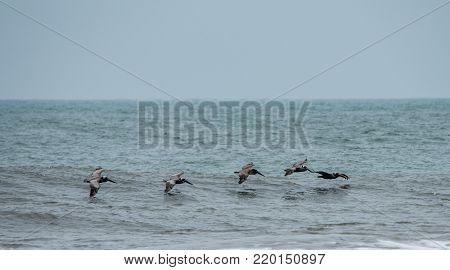 pelicans flying over the wave on the Atlantic ocean
