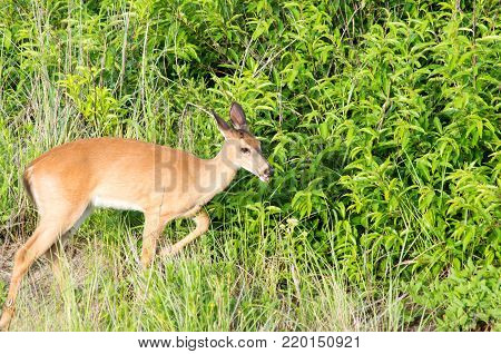 White Tail Deer On The Dunes In Outer Banks North Carolina