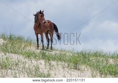 Wild Colonial Spanish Mustangs On The Northern Currituck Outer Banks