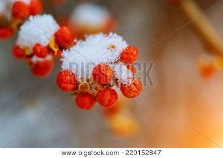 Winter Red berries of mountain ash under the snow.