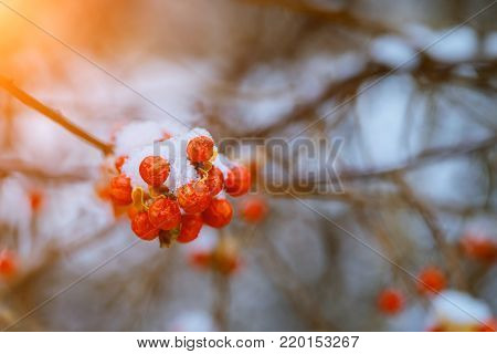 winter mountain ash in the forest in the snow macro filming . winter berry. winter