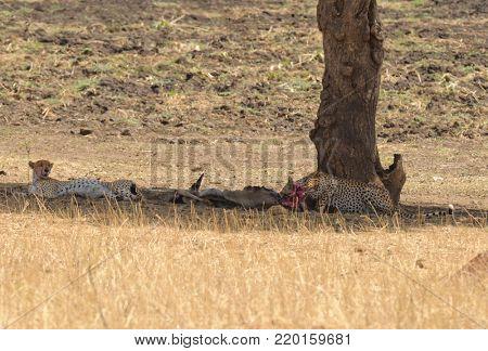 pair of Cheetah resting after a meal (scientific name: Acinonyx jubatus or
