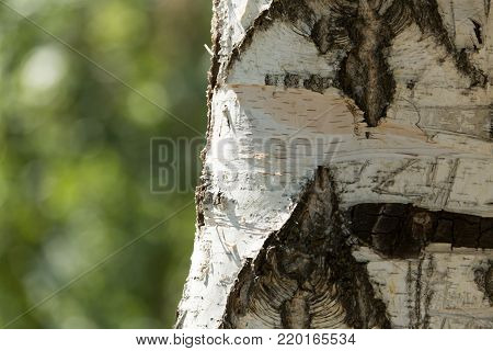 background from the bark of birch trees in nature .