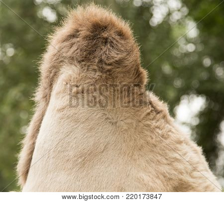 hump camel . In the park in nature