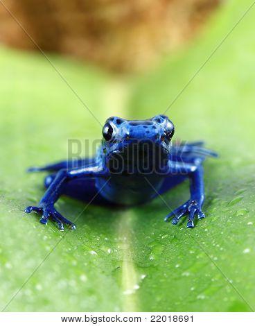 A macro shot of a Blue Poison Dart Frog (Dendrobates Azureus) on a dew covered leaf. poster