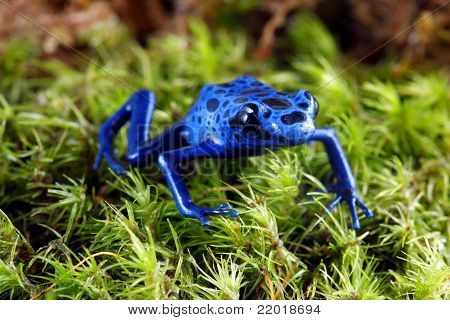 A macro shot of a Blue Poison Dart Frog (Dendrobates Azureus) on a mossy jungle floor. poster