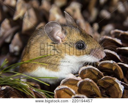 A side view of a juvenile house mouse, Mus musculus, sitting on a pile of pine cones.