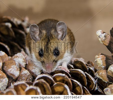 A straight on frontal view of a brown house mouse, or Mus musculus on a pile of pine cones.