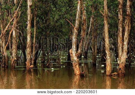water lillies, in flood water, far north Queensland, Australia