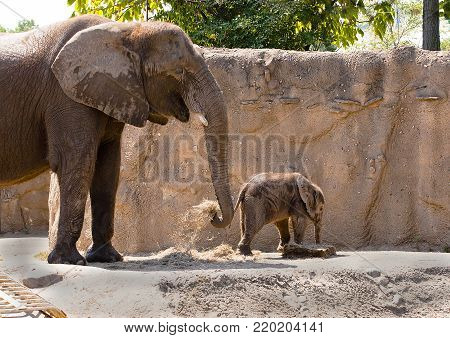 Mother elephant and newborn calve at a zoo.