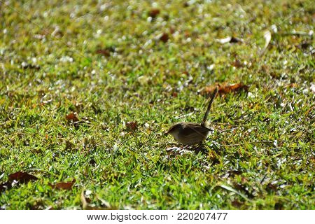A single female Fairy Wren hopping on grass