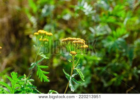 Flowers of tansy plant (Tanacetum vulgare). Medicinal plant