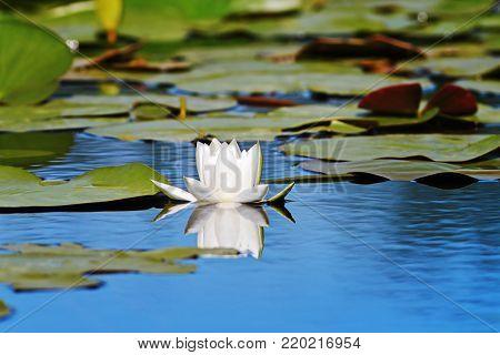 beautiful european white water lilly in Danube Delta, Romania ( Nymphaea alba )