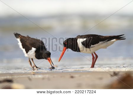 Haematopus ostralegus. The wild nature of the North Sea. Medium bird. Bird on the beach. Germany. Helgoland. Beautiful nature. The wild nature of Europe. Free nature. Sea and sand.
