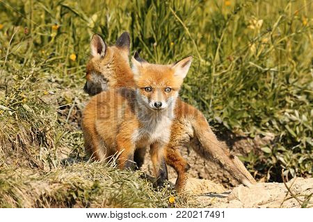 tiny european red fox cub looking at the camera, wild animal in natural habitat ( Vulpes )