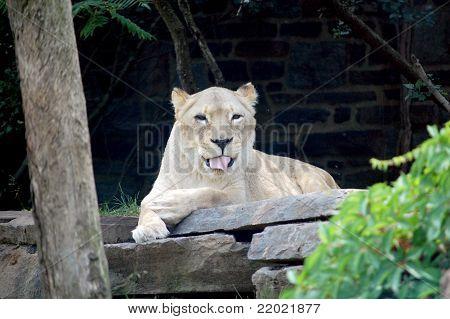 Playful Lion