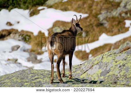 Chamois in the mountains, High Tatras in Slovakia