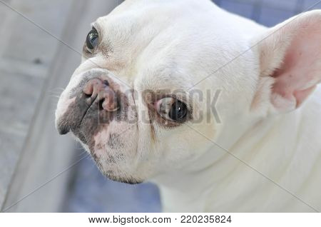 dog or French bulldog  or gazing dog