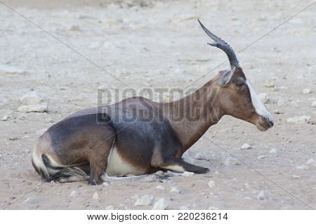 Blesbok sitting on poor land, brown body and white on head