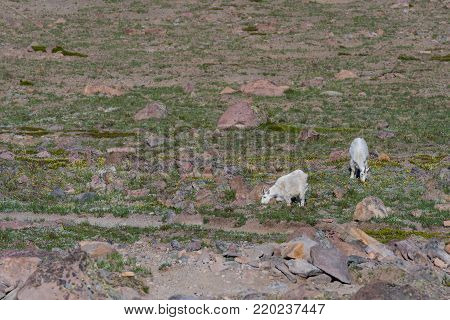 Two Mountain Goats Graze in Mount Rainier in summer field