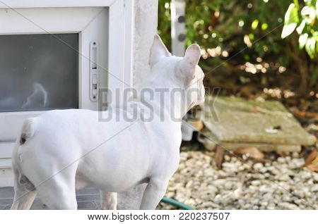 French bulldog or waiting dog on the floor