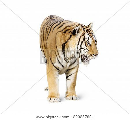 Tiger in the nature habitat. Tigers walking, standing, eating, resting. Wildlife scene with danger animal. Hot summer in Rajasthan, India. Dry trees with beautiful indian tiger, Panthera tigris