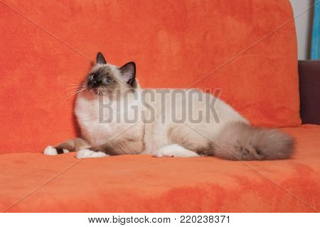 A seal point Birman cat, 9 month old cat , male with blue eyes is lying  on sofa