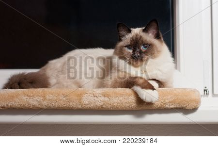 A seal point Birman cat, 9 month old cat, male with blue eyes sitting on the window sill