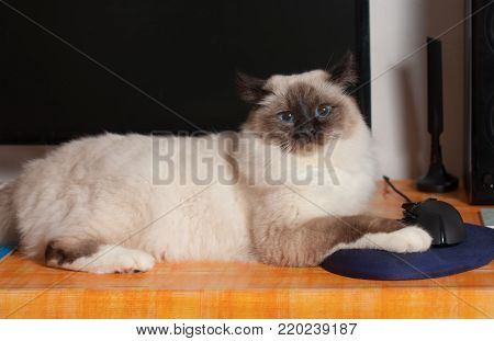 A seal point Birman cat, 9 month old cat , male with blue eyes sitting on the PC table