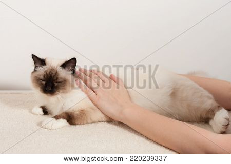 A seal point Birman cat, 9 month old cat , male being stroked by a woman's hands