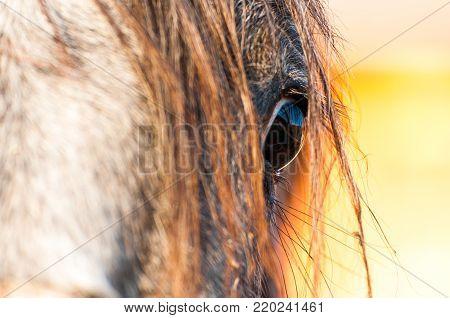 Purebred horse eye close up shot at sunset on a little farm.
