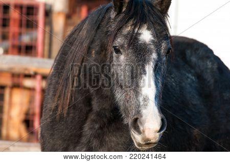 Grey purebred horse portrait shot at sunset on a little farm.