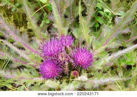 Cirsium esculentum flower near Baikal lake in Siberia