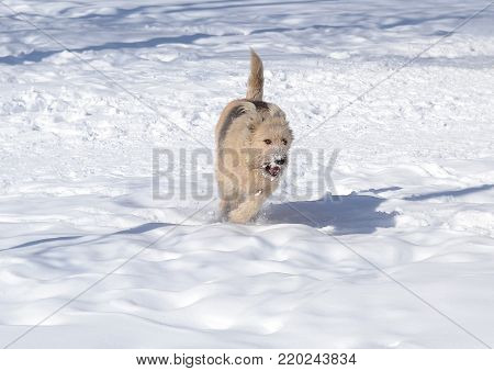 Cute brown dog running on the snowy plane. Big shaggy mongrel dog in winter landscape