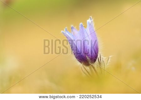Pulsatilla grandis. Growing in the Czech Republic. It grows in Central and Southeast Europe. In Russia. In Central Europe, Western Europe, England and southern Scandinavia another species grows.