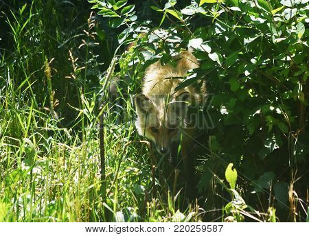 Gorgeous young fox peaking out of the tall grass.