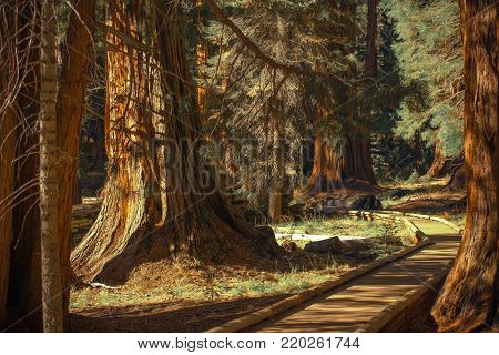 Giant Sequoias Trailheads. Wooden Pathwalk in the Sequoia National Park in the California, United States of America.