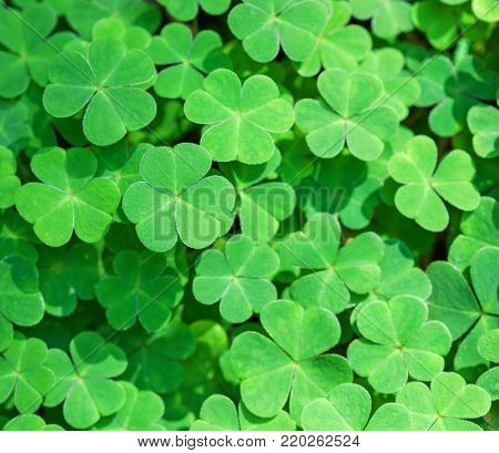 Green background with three-leaved shamrocks. St. Patrick's day holiday symbol.  Shallow DOF,  focus on near leaf.