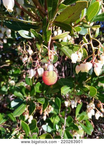 Flowers, fruit and leaves of Strawberry tree (Arbutus unedo)