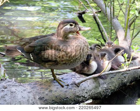 Carolina duck and ducklings in High Park of Toronto, Canada, May 31, 2016