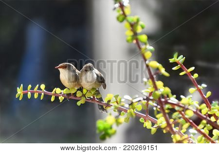 A male and female fairy wren sitting on a money tree