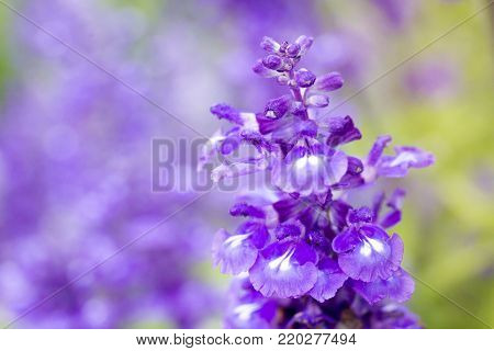 Beautiful lavenders close up in the garden with blurred larvender field background.