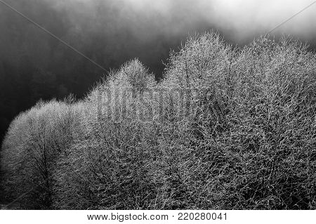 Frost on trees in the Skagit Valley, WA